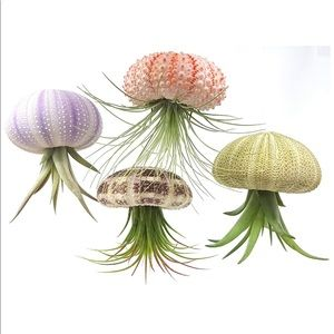 Air plant container (sea shell)